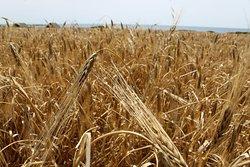 I campi di grano adiacenti alla spiaggia di Maimoni.