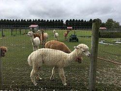 Silver Fox Farm Alpacas