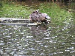 Platypus at Ponds