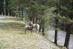 Big horn sheep along the road to Norquay.