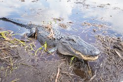 Male Alligator