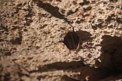 Little tri-colored bat