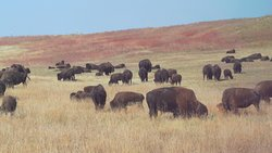 """The bison at Custer State Park; like being in a part of the movie """"How the West Was Won."""""""