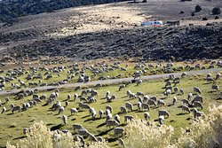 Sheep in the Bodie Hills
