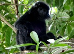 When the high of dry season it's possible to see them. The grizzled leaf monkeys or well known a