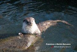 Nutria paleártica - European otter