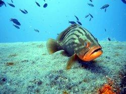 Grouper at Faroud