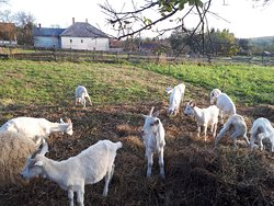 Orsegi Kecskefarm (Goat Farm)