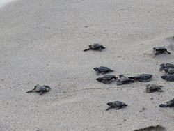 Baby sea turtles being released at 7PM by hotel staff