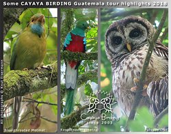 Blue-throated Motmot, Resplendent Quetzal, Fulvous Owl, seen during a CAYAYA BIRDING tour in 201