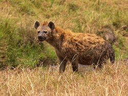 Hyena at Masai Mara