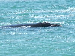 A right whale in the bay