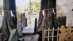 三千年古樹