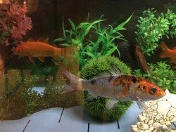 Yuni Ko fish Tank