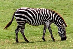 Zebras are several species of African e quids united by their distinctive black and white striped coats.Their stripes come in different patterns,unique to each individual.They are generally social animals that live in small harems to large herds.Zebras are several species of African e quids ( horse family  ) united by their distinctive black and white stripes coats.Their stripes come in kingdom:Animal, Class:Mammalia,Order:Perissodactyla, Subgenus:Hippotigris and Dolichohippus