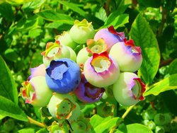 Spring blueberries in various degrees of ripeness