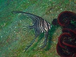 バリ島アメッドのマクロポイント ゼブラバットフィッシュ