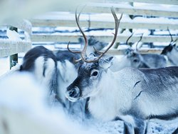 At the Sirmakko Reindeer Farm in Rovaniemi, Lapland, Finland you get to experience a real reindeer round-up at a genuine reindeer fence.