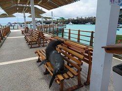 A sea lion getting comfortable on a bench at the dock at Santa Cruz.