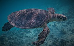 Tortue sur House Reef