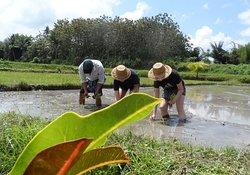 Rice Planting, Rice Farm Tour Bali