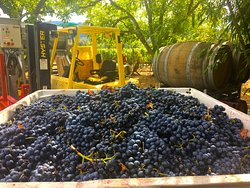 In fall, you'll see grapes ripening on the vine, and you may see the harvest and crush. It's an exciting time to visit Wine Country!