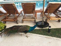 Peacock!!