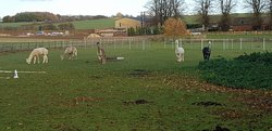 Alpaca Experience in the Cotswolds