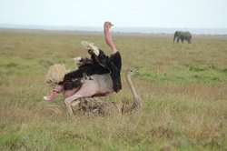 Mourning game drive at amboseli national park