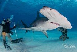 Hammerhead diving with Bimini Undersea in Bimini, the Bahamas.