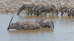 Thirsty Oryx and Zebras