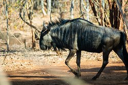 Wildebeest and many more animals in the area for you to see...