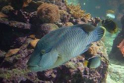 Napoleonfish/Wrasse