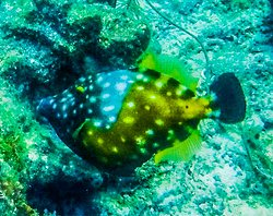 A white spotted file fish, one of the beautiful species of sea life to be found in Curacao.