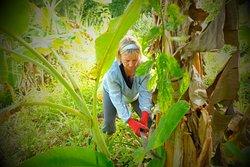Cutting Banana trees