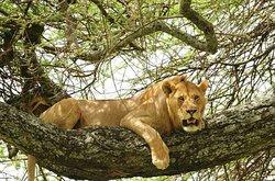 climbing lions in lake manyara national