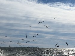 Birds in the wake of the Ocracoke to Cedar Island ferry