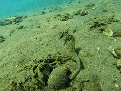 Seahorse @ Jemeluk Bay