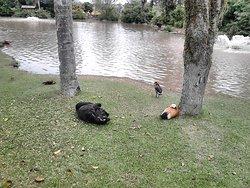 Patos e cisnes