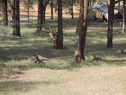 the camping kangeroos