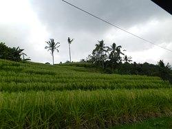 Jatiluwih Ricefields