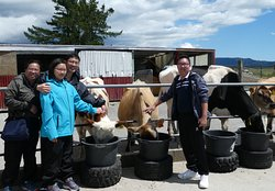 Enjoying a Dairy Farming experience at Hari Hari on an 8 day tour