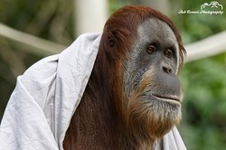Male orangutan sheltering during rain.