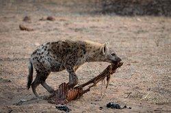 hyena with breakfast