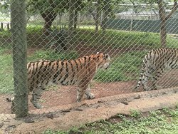 Tigers are beautiful creatures. Cradle of life park is most likely the only park i know which has the whole cat family. they even have Pumas. Its such a lovely park.