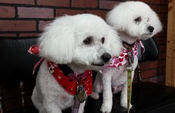 Toby & Karina patientlyy waiting for mom and dad after grooming.