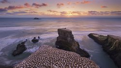 Muriwai Gannet Colony at sunset.