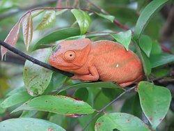 Camaleonte rosso