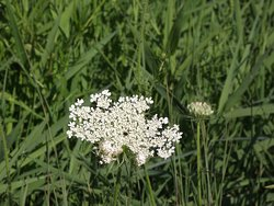 NH - DOVER - WILLAND POND #7 - DOVER SIDE - QUEEN ANNE'S LACE NEAR TRAIL