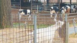 店舗の裏(駐車場になってます)にある牧場で牛とヤギがいました。